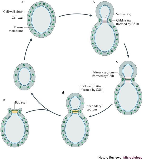 How do cells reproduce sexually
