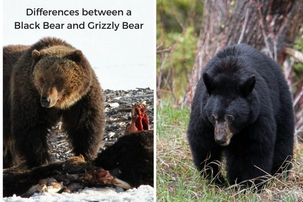 what are the most dangerous types of bears quora