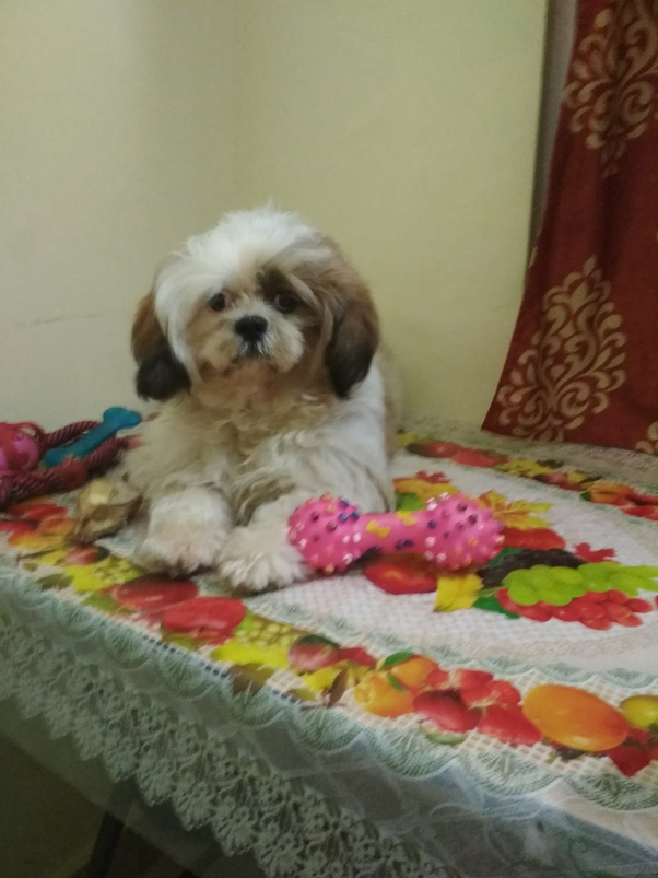 cost of shih tzu what is the price of a shih tzu puppy in india quora 7623
