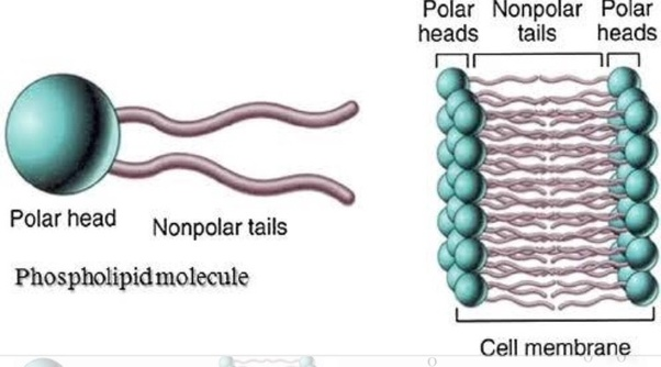how can the structure of a phospholipid molecule be