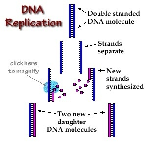 as you can see when the replication starts the dna is unwinded so all the replication machinery can bind to each of the the two single strands and begin