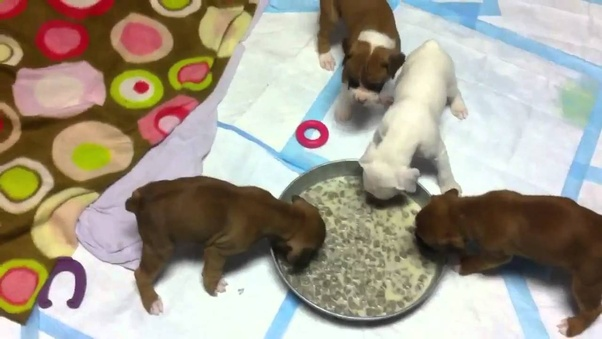 What Should I Feed A 3 Weeks Old Puppy Quora