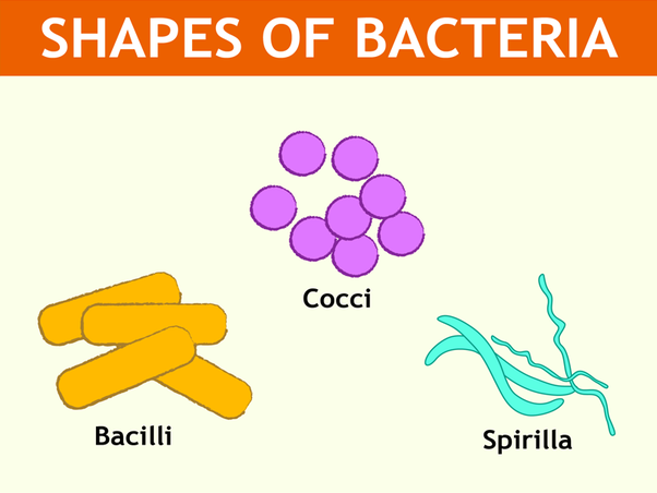 What are the various shapes of bacteria quora rod shaped bacteria called as bacilli spherical shaped bacteria called as cocci curved shaped bacteria called as spirilla ccuart Choice Image