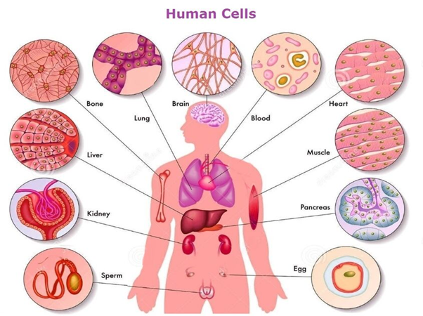 how many cells are there in the human body quora