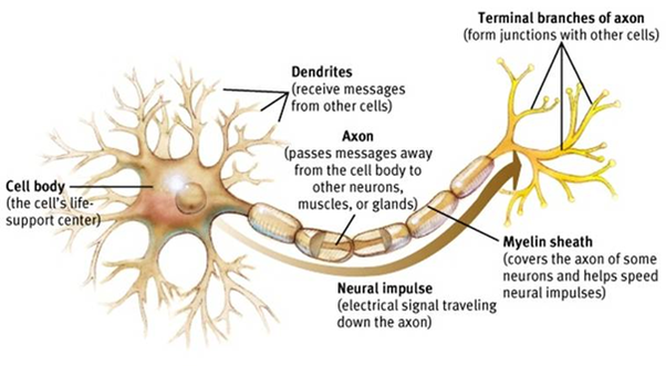 What are the parts of the neuron and their function quora these are the axon terminal buttons and synapses and connect to the dendrites of other neurons ccuart Gallery