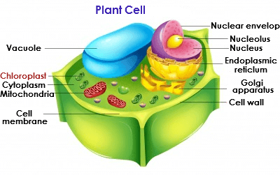 Where in the plant cell is energy turned into oxygen? - Quora