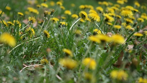 What is the name of the weed that has leaves that resemble dandelion according to observation the common dandelion taraxacum officinale is a perennial plant most would say a weed with long deeply toothed green leaves mightylinksfo