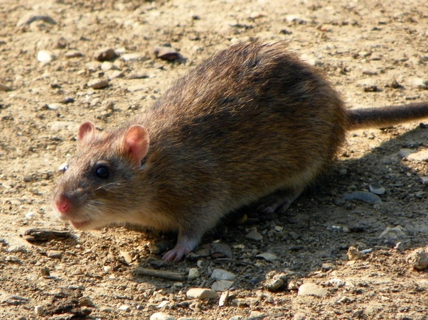 If a rat bites a piece of fruit, can we still eat it? - Quora