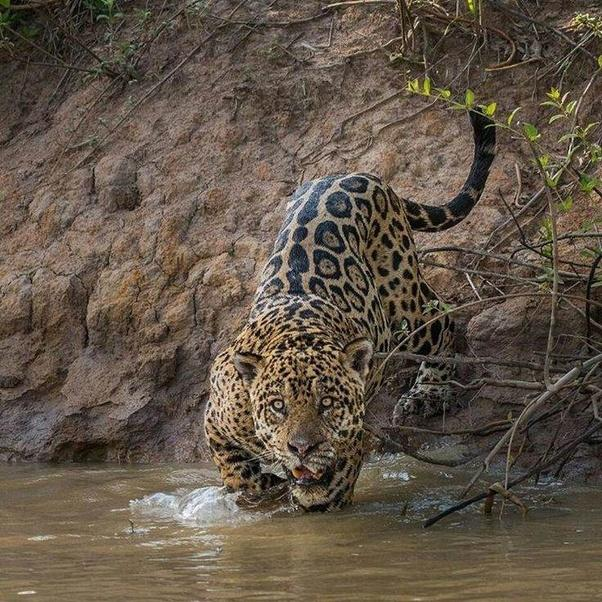 Male Jaguar: Are Jaguars Thought Of As Being Small Compared To Other