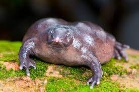 Indian Purple Frog Or The Pig Nose Frog