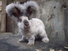 An Angora rabbit just after trimming. It looks more like a white scottish terrier than a bunny, but with rather longer legs, and sporting what looks like two huge, fluffy feather dusters on its head. I swear. I could just DIE of the cuteness.