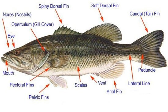 What are the different types of fish fins quora for Types of bony fish