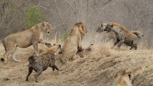 Who usually wins in fights between hyenas and lions? - Quora