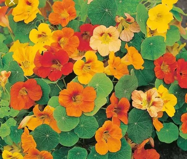What is the name of the orange and yellow flowers in the photo quora tropaeolum wikipedia mightylinksfo