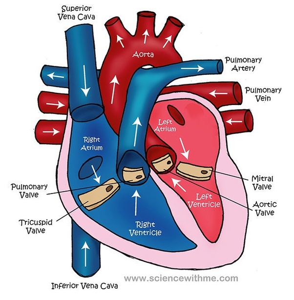 Which part of the heart pumps blood into the arteries quora the blue signifies desaturated low oxygen blood coming back from the body where it gave off most of the oxygen carried the red signifies oxygenated high ccuart Choice Image