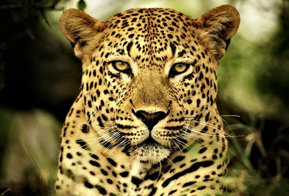 What are the differences between a cheetah a leopard and a head is fatter and heavier like a lions or jaguars with strong jaws and typical wild cat look voltagebd Gallery