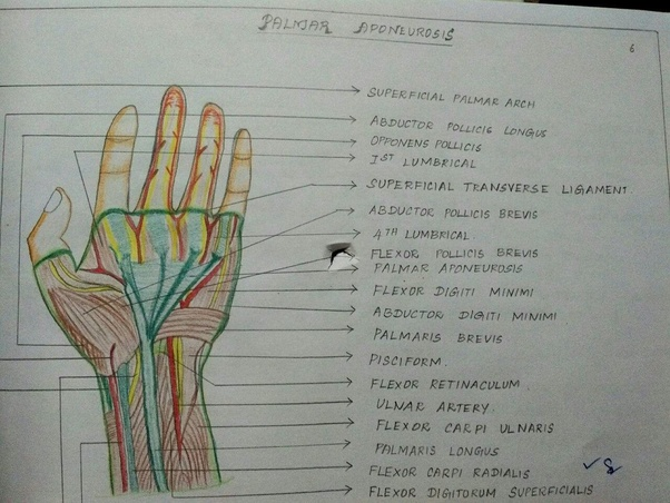 What is the colour coding for    diagrams    in anatomy  1st    year    MBBS    Quora
