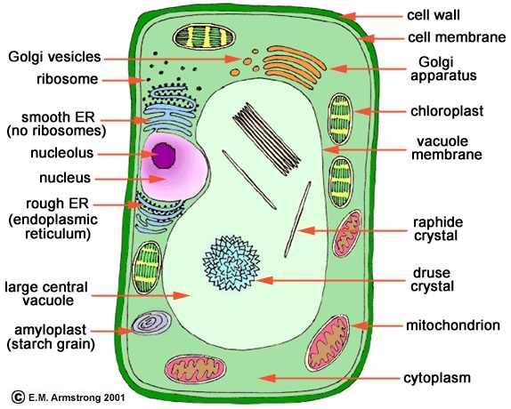 What is the reason for a plant cell to have their nucleus at the what is the reason for a plant cell to have their nucleus at the periphery instead of the centre as like in an animal cell quora ccuart Gallery