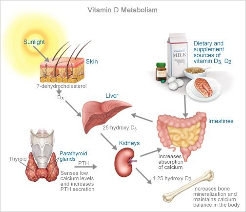How important is vitamin D for the immune system? - Quora
