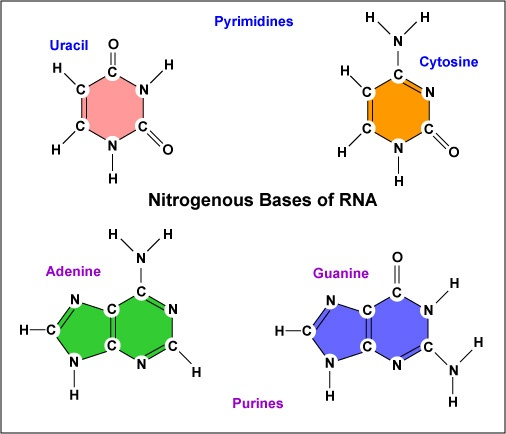 how many nitrogenous bases are there in rna quora rh quora com