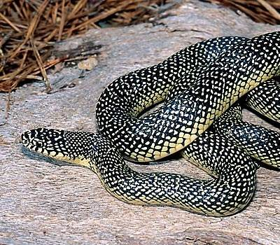 snakes name a snake with white spots living in missouri farmland
