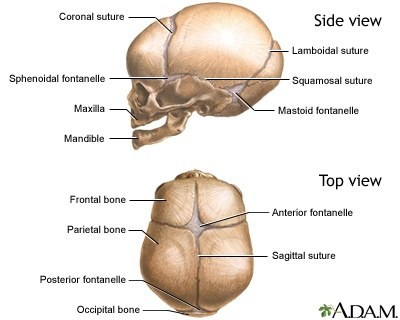 Why are there joints in our skulls? - Quora