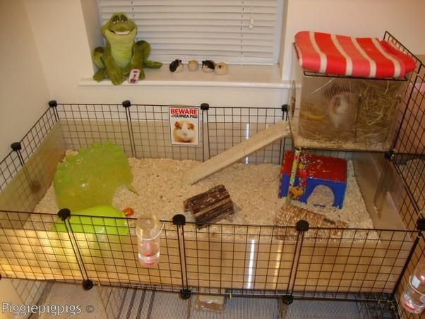 How to care for guinea pigs quora for Build your own guinea pig cage
