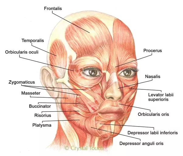 How do the muscles of the face work Quora
