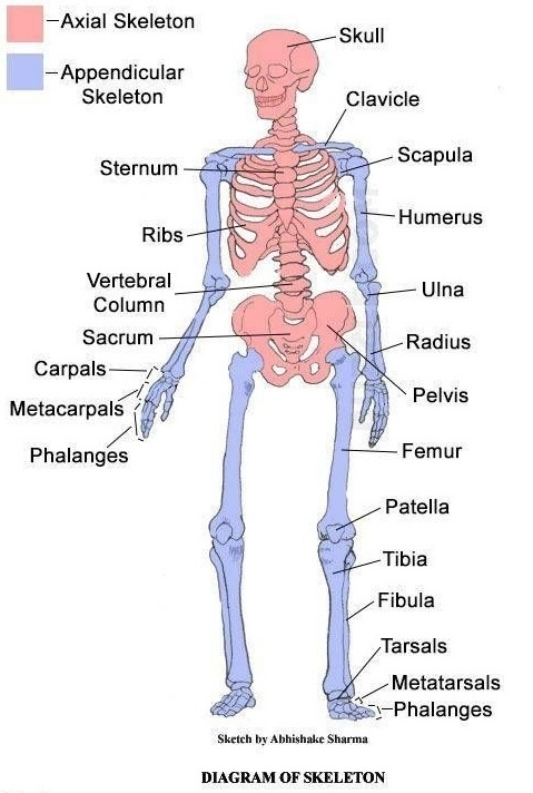 What is axial and appendicular skeleton   Quora