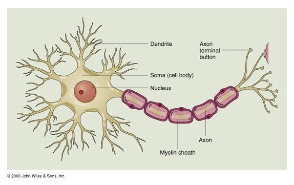 What is the longest cell in the human body quora three types of neurons are sensory neurons motor neurons and interneurons neurons possess a membrane that is designed to send information to other cells ccuart Images