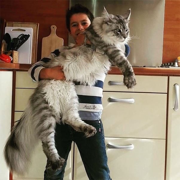 If Domestic Home Cats Were As Big As Large Dogs Would It Be Safe To Keep Them As A Pet Could It Be Dangerous Quora