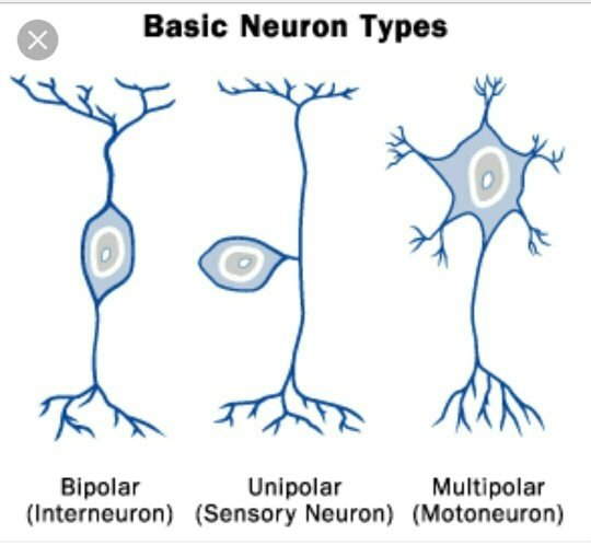What is the shape of a nerve cell quora a typical neuron consists of a cell body soma dendrites and an axon the term neurite is used to describe either a dendrite or an axon particularly in ccuart Image collections