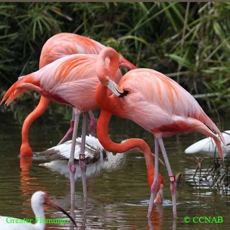 Also Realize That The American Flamingo Is A Recent Returnee To State It Was Eradicated Over Century Ago And Has Only Newly Begun Its Comeback