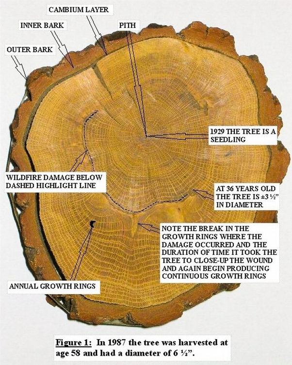 How do we know counting rings in a tree is a definitive '1