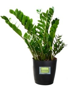 Available In Various Shades Of Green. Very Hard To Kill. This Is A Photo  From Plants Of Steel By A Great Grower The Leader In Houseplants And  Bedding ...
