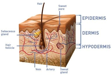 How often does skin replace itself quora however the thickness of epidermis is not same in whole body in some regions it is about 15 mm palms and in some regions ccuart Images