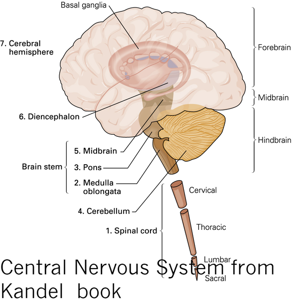 What Are The Similarities And Differences Between The Cerebrum The