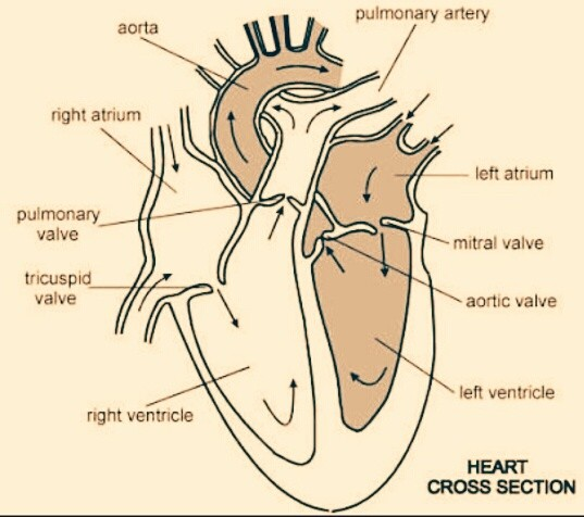 Can I Skip Diagrammatic Questions Of The Circulatory System In Icse