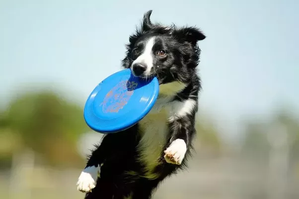 He Would Leap Literally 8 Feet In The Air To Catch Frisbee And His Photo Appeared Many Publications Years Later I Still Think Of That Dog