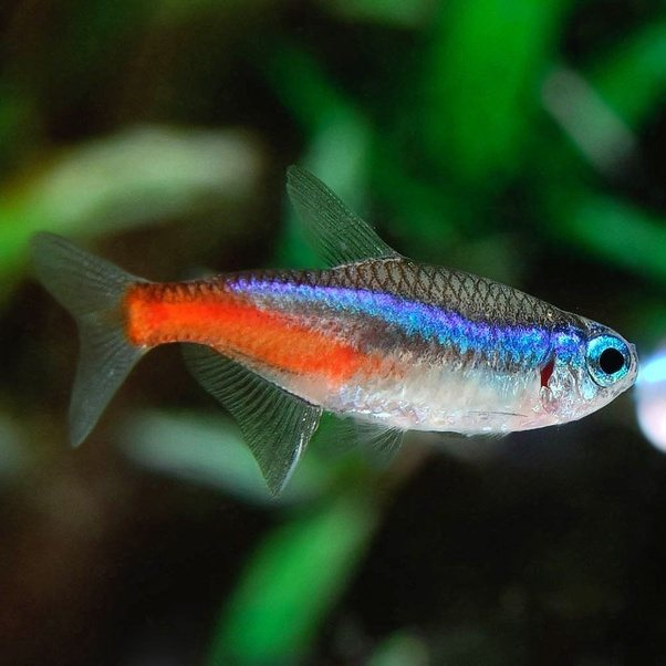 What Is The Most Awesome Schooling Fish Among Aquascape Fish?   Quora