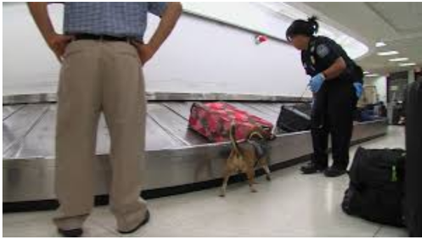 Can airport security detect a small amount of marijuana in