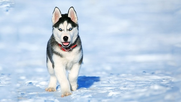 What are the differences between an Alaskan Husky and a