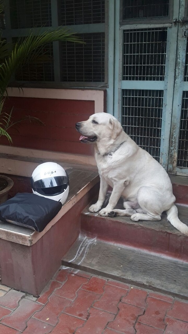 How To Make My 5 Month Old Lab Puppy Put On Weight Quora
