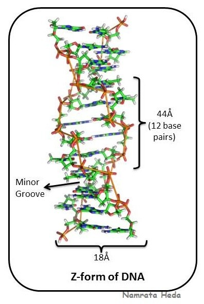 How many bases are present in one turn of z dna quora following diagram will help u to understand ccuart Choice Image