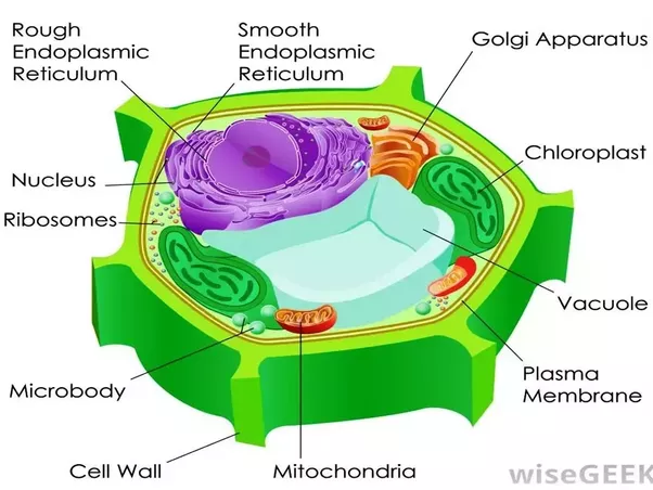 What Are The Parts Of An Animal Cell And Its Functions Quora