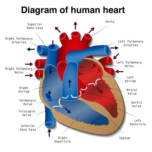 What are the upper and lower chambers of the heart called? What are ...