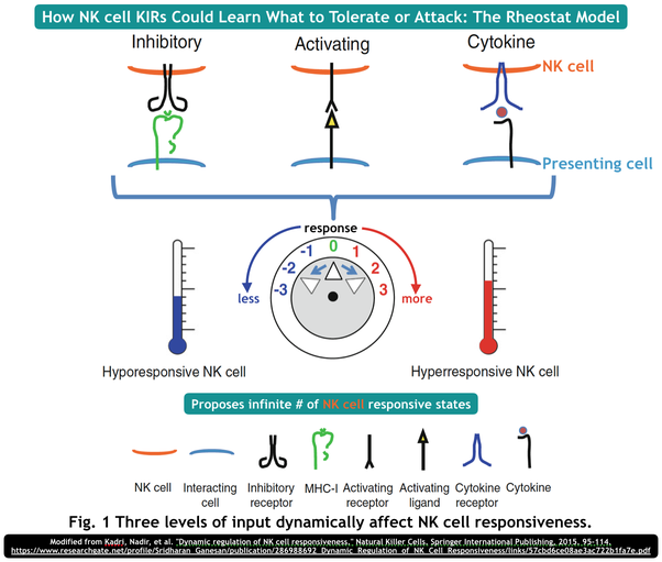 What is the missing self hypothesis of organ transplant rejection more recent studies complicate matters further by suggesting nk kirs are sensitive to peptides presented by the hla class i molecule 8 ccuart Image collections