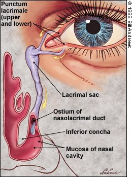 Human Biology: How does liquid from the eyes reach the throat ...
