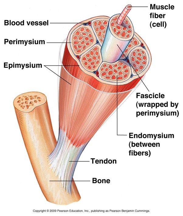 What Are The Functions Of The Cells Of The Skeletal Muscle Quora