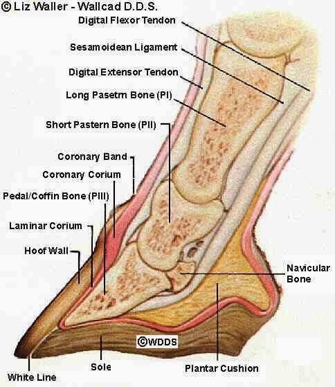 bagian bagian kaki kuda